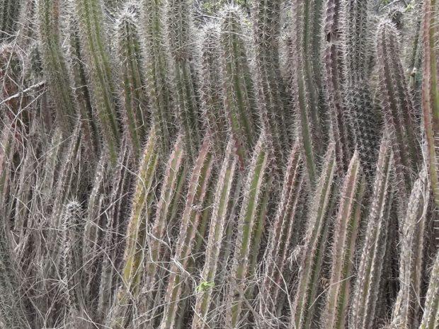 tranke / cactushaag - foto Aart G. Broek - www.klasse-oplossingen.nl
