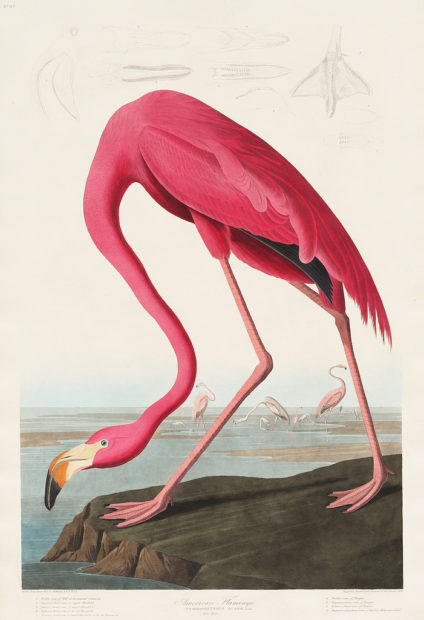 American Flamingo, plate 413 from Audubon's The Birds of America