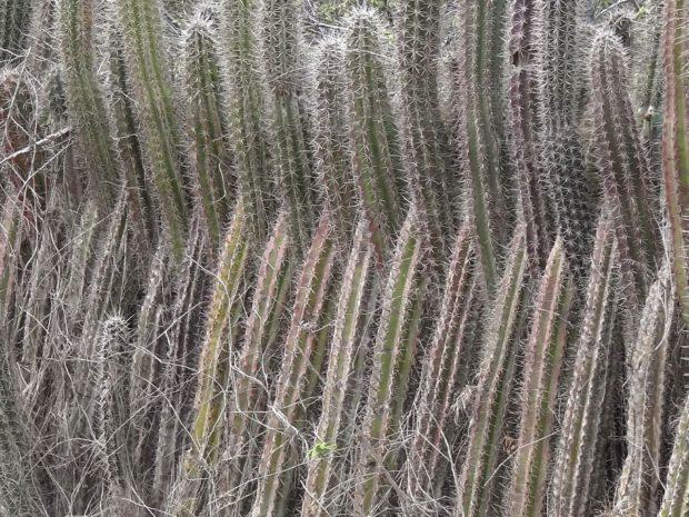 cactushaag I tranké - foto Aart G. Broek